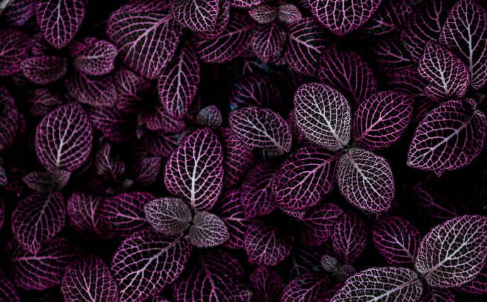 Hojas color púrpura